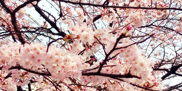 京都の桜はどれくらい咲いているの?
